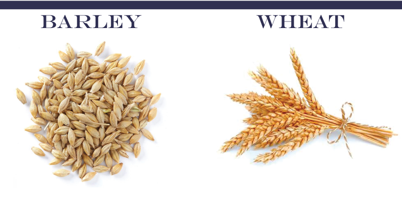 barley-wheat
